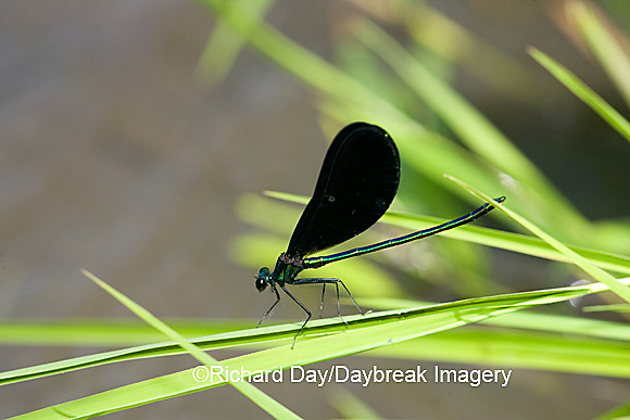 06014-001.08 Ebony Jewelwing (Calopteryx maculata) male, Lawrence Co. IL
