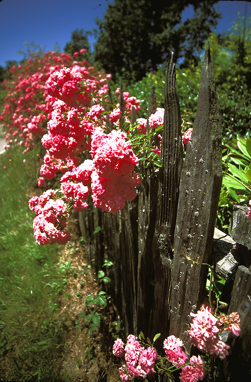 Roses on a fence in Mendocino, California