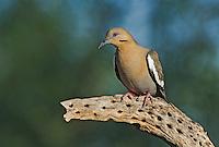 518240028 a wild white-winged dove enaida asiatica perches on a dead cholla plant in green valley arizona