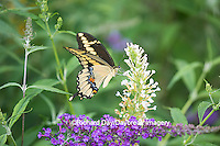 03017-01206 Giant Swallowtail butterfly (Papilio cresphontes) on Butterfly Bush (Buddlei davidii),  Marion Co., IL