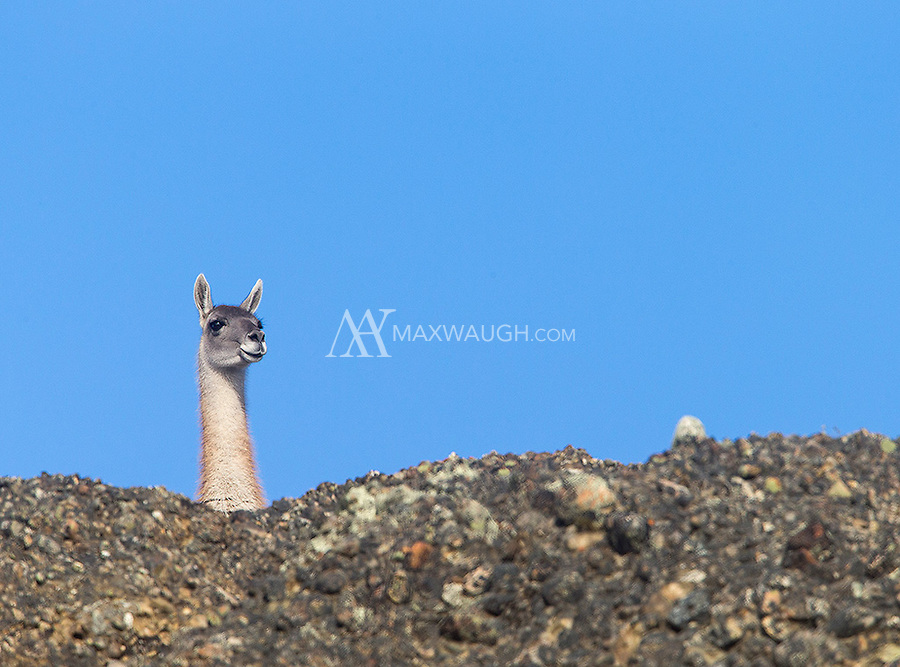 Guanacos are ubiquitous in and around Torres del Paine.  Their keen eyesight and loud alarm calls often helped us track down pumas.