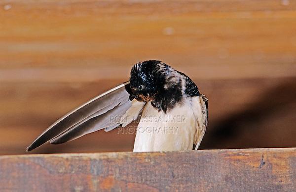 Barn Swallow, Hirundo rustica, adult preening in Barn, Oberaegeri, Switzerland, July 1997
