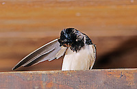 Barn Swallow, Hirundo rustica, adult preening in Barn, Oberaegeri, Switzerland, July 1997