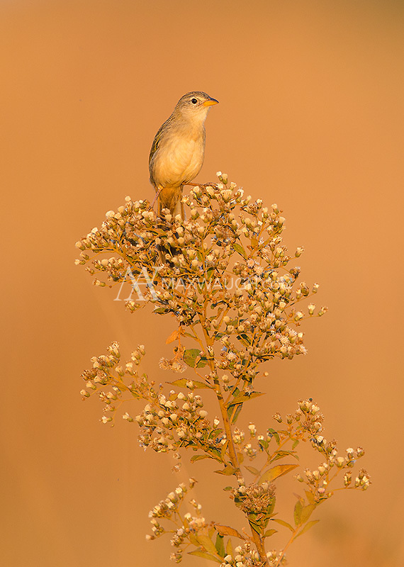 A Lesser grass finch perches high in the last light of the day.