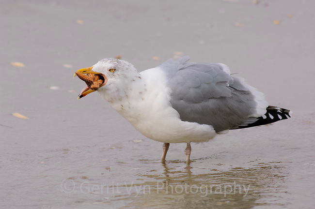 Adult Herring Gull (Larus argentatus) in basic (winter) plumage trying to swallow a starfish. Ocean County, New Jersey. February.