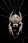 Darwin's bark spider, Caerostris darwini, on web at night, Nr Mantadia National Park, Andasibe, Madagascar, newly described (2010) orb-weaving spider. It produces the largest orb web known. The silk is extremely tough, tougher than any previously analyzed silk and more than 10 times tougher than Kevlar.  Mimics dead bark, twigs, or thorns