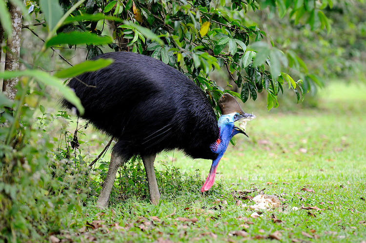 The Southern Cassowary, Casuarius casuarius, also known as the Double-wattled Cassowary, Australian Cassowary or Two-wattled Cassowary, is a large flightless black bird. It is a Ratite and therefore closely related to the Emu, Ostrich, and Rhea...This bird was photographed feeding on a recently fallen Soursop (Fruit)