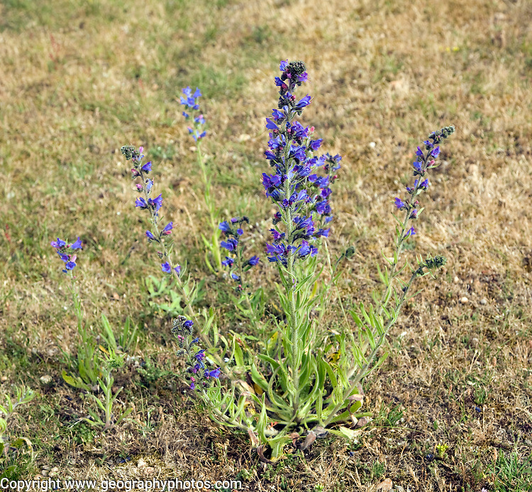 Echium plantagineum plant, Purple Vipers Bugloss, growing on Suffolk Sandlings, England