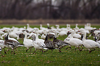 Snow Geese at the Sequoyah National Wildlife Refuge in Eastern Oklahoma.