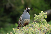 A California Quail in Golden Gate Park, San Francisco. Ernie Mastroianni photo.