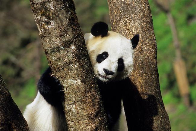 CHINA, SICHUAN PROVINCE, WOLONG PANDA RESERVE, GIANT  PANDA (AILUROPODA MELANOLEUCA) AT TREE