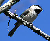 Carolina chickadee adult singing