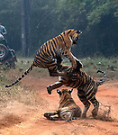 Pictured: An athletic young tiger springs high into the air as it play-fights with its sibling.   The female Bengal tiger, which is only around 12 months old, puts her powerful hind legs to good use as she leaps high above her brother.<br /> <br /> The pair delighted an awestruck photographer as they emerged onto the jungle road and began playing under the watchful eye of their mother.   Mihir Mahajan was able to capture the images in India's Tadoba Andhari Tiger Reserve.   SEE OUR COPY FOR DETAILS<br /> <br /> Please byline: Mihir Mahajan/Solent News<br /> <br /> © Mihir Mahajan/Solent News & Photo Agency<br /> UK +44 (0) 2380 458800
