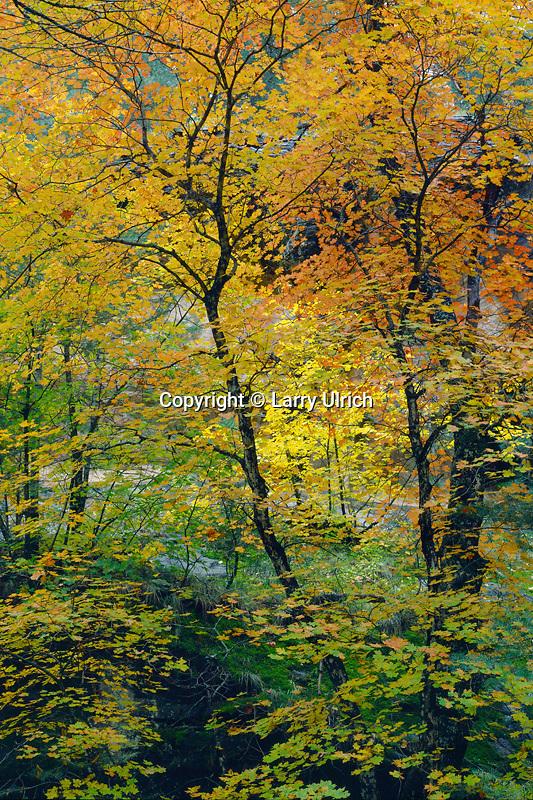 Bigtooth maples, West Fork Oak Creek<br /> Secret Mountain Wilderness<br /> Coconino National Forest<br /> Colorado Plateau,  Arizona