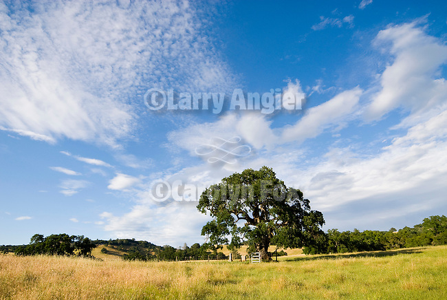 Heritage oak and headstones; clouds, Upper Rancheria cemetery, Amador County, Calif...Hills turning golden in late spring
