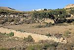 Olive trees in semi desert farmland, Rodalquilar, Cabo de Gata natural park, Almeria, Spain