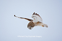 01113-012.19 Short-eared Owl (Asio flammeus) in flight at Prairie Ridge State Natural Area, Marion Co., IL