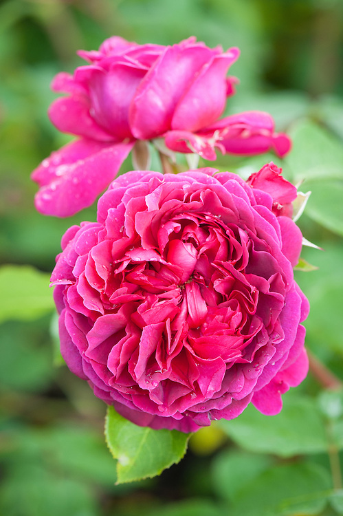 Rosa William Shakespeare 2000 ('Ausromeo'), early June. A modern shrub rose from David Austin, 2000. Flowers have an Old Rose fragrance and are velvety crimson, gradually changing to an equally rich purple.