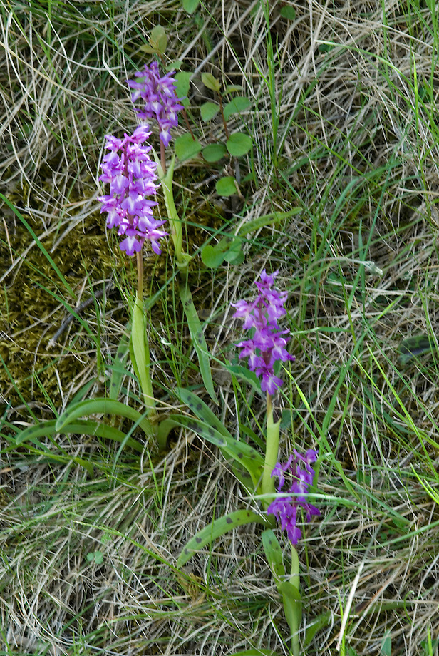 Mannetjes orchis (Orchis mascula)