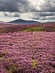 Dark Skies over Heather moorland in The Cheviots near Wooler Northumberland National Park England