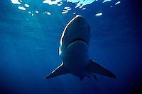 BRONZE WHALER SHARK  Carcharhinus brachyurus SOUTH AUSTRALIA. Bronze whaler shark  Carcharhinus brachyurus death South Australia predator dangerous menacing deadly hazardous cartilaginous horizontal underwater surface head nose danger underwater sharks