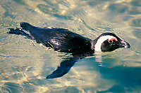 African or jackass penguin, Spheniscus demersus, swimming, Cape Peninsula, South Africa