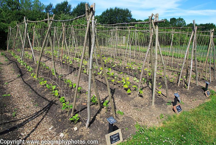 Runner beans growing in vegetable garden, Sissinghurst castle gardens, Kent, England, UK