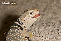 0612-1010  Displaying Teeth, Great Basin Collared Lizard (Mojave Black-collared Lizard), Mojave Desert, Crotaphytus bicinctores  © David Kuhn/Dwight Kuhn Photography