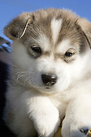 Six week old puppy *Ringo* at Shaktoolik