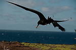 Great frigatebird bringing a twig home, probably he did steal the twig from a booby