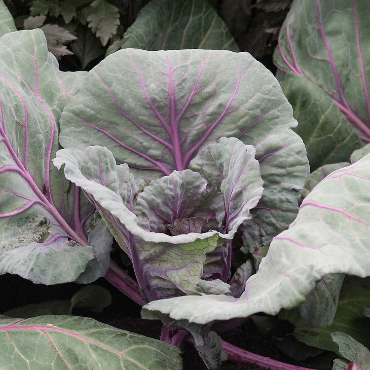 Cabbage 'Red Jewel', an F1 hybrid summer/autumn red cabbage that can be harvested from late July to October.