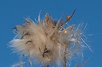 Fruchtstand einer Distel, Samen, Flugsamen mit Haaren, Schirmchen zum Fliegen, Frucht einer Distel, Haarflieger, Schirmflieger, Schirmchenflieger, Windflieger, Haarfrucht, Schirmfrucht, Cirsium spec.,