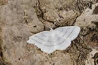 Weißstirn-Weißspanner, Weißspanner, Cabera pusaria, common white wave, la Cabère virginale, Spanner, Geometridae, looper, loopers, geometer moths, geometer moth