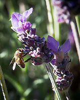 Bees are pollinators, flitting from flower to flower.  Here, lavender flowers are serviced on a lazy summer afternoon.