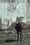 Rocky Mountain, Bighorn Sheep, Ovis canadensis, mammal, big game, animal