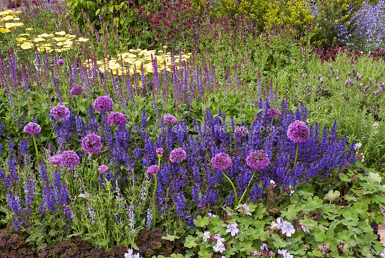 Veronica, Salvia, Trifolium, perennial Geranium, Allium ornamental onions, planted in drifts of colors, blue, purples, yellows, reds, with different spiky shapes and mounded textures