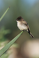 Eastern Phoebe, Sayornis phoebe,adult, Lake Corpus Christi, Texas, USA, April 2003