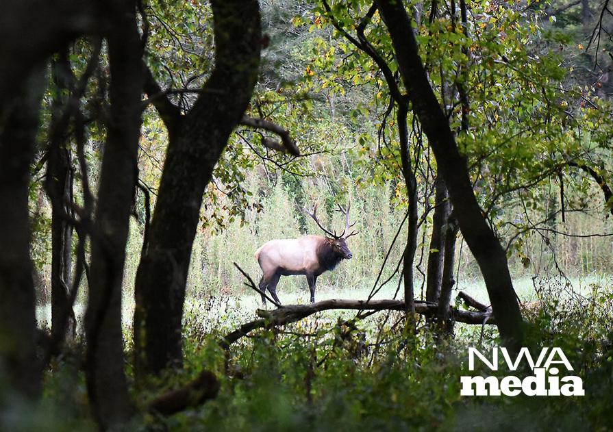 NWA Democrat-Gazette/FLIP PUTTHOFF<br />Forest frames a bull elk Sept. 29 2017 near Ponca.