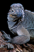 438504007 portrait of a rhinoceros iguana cyclura cornatum a wildlife rescue animal - species is endangered and is native to haiti and the dominican republic