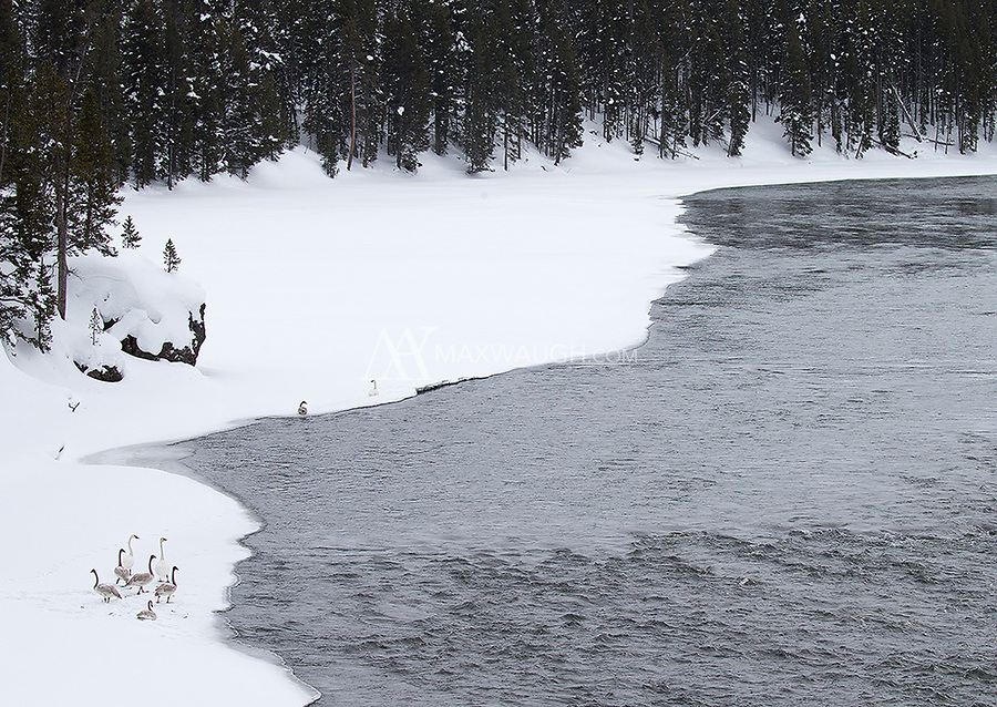 Trumpeter swans are found in greater numbers in Yellowstone's interior during winter.  These were hanging out along the Yellowstone River.