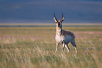 North America's fastest land mammal, the Pronghorn antelope (Antilocapra americana) perfers wide open spaces where it can easily outrun any predators.