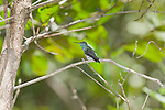 Mangrove hummingbird, Amazilia boucardi, perched in a tree at the shore of the Tarcoles River, Costa Rica