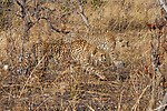 Cheetah (Acinonyx jubatus) three year old male brothers stalking, Kafue National Park, Zambia