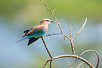 Lilac-breasted Roller, Serengeti National Park, Tanzania, East Africa