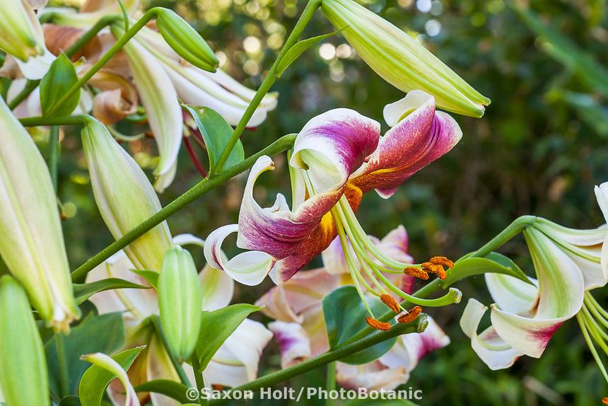 Orienpet Lily flower with pollen filled anthers, Yanker-Hansen garden