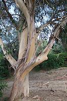 Blauer Eukalyptus, Gewöhnlicher Eukalyptus, Tasmanischer Blaugummibaum, Blaugummi-Baum, Fieberbaum, Eucalyptus globulus, Tasmanian Blue Gum, Southern Blue Gum, Blue Gum