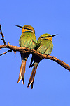 Swallow-tailed bee-eaters, Merops hirundineus, Kgalagadi Transfrontier Park, South Africa