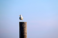 Seagull perched on a dock piling.