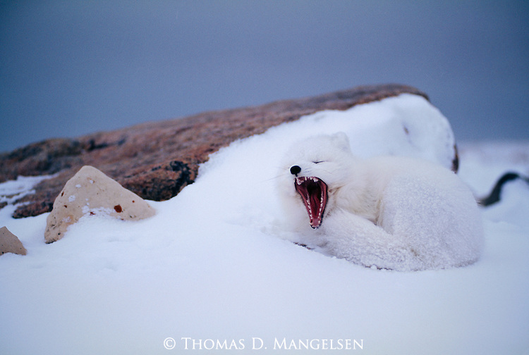Arctic Fox yawning while laying in the snow.