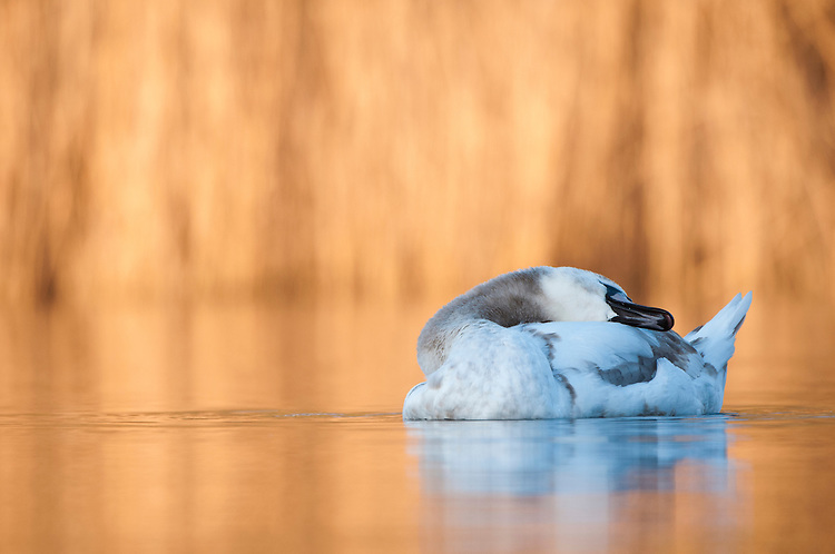 Mute swan, Cygnus olor, juvenile at dawn on lake reserve created through gravel pit extraction. Ashton Keynes, Wiltshire/Gloucestershire border. UK.